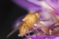 Small fly on thistle, extreme close-up Royalty Free Stock Image