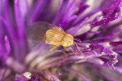 Small fly on thistle, extreme close-up Stock Image