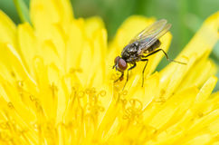 Small Fly on a Yellow Dandelion. Small Housefly on a Bright Yellow Dandelion Stock Images