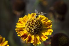 Small fly on yellow flower Royalty Free Stock Images