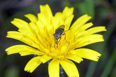 Small fly on yellow flower Stock Images