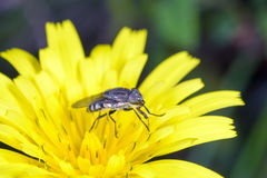 Small fly on yellow flower Stock Photo
