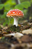 Small flyagaric Royalty Free Stock Images