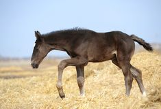 Small foal is on the field Stock Photography