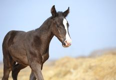 Small foal is on the field Royalty Free Stock Photography