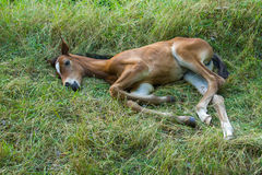 Small foal Stock Image