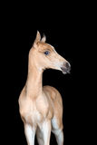 Small foal of a horse on black background Stock Photos