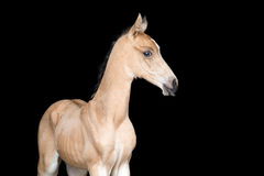 Small foal of a horse on black background stock photo