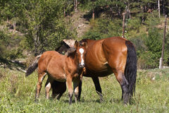 Small foal and mare Royalty Free Stock Images
