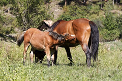 Small foal and mare Royalty Free Stock Photography