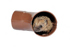 Small forest hedgehog frightened, gets out of the drainpipe Stock Photos