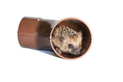 Small forest hedgehog, gets out of the drainpipe Stock Image