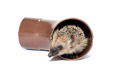Small forest hedgehog, gets out of the drainpipe Royalty Free Stock Images