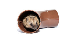 Small forest hedgehog, gets out of the drainpipe isolated Stock Photography