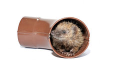 Small forest hedgehog, gets out of the drainpipe isolated Stock Image