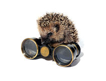 Small forest hedgehog with old binoculars isolated Royalty Free Stock Photo