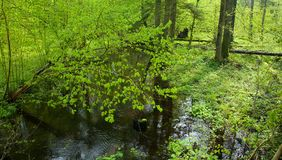 Small forest river crossing deciduous forest Royalty Free Stock Photo