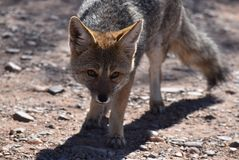 Small fox in Argentina royalty free stock images