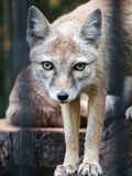 A small fox in a cage looks at the camera. Artistic blurring of the rods of the cell. royalty free stock photos