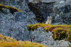 Small fox in the rock habitat. Arctic Fox, Vulpes lagopus, cute animal portrait in the nature habitat, grass meadow with flowers d Stock Photography