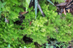 Small Foxtail fern Stock Image