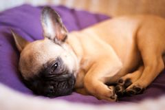 Small French bulldog Royalty Free Stock Photography