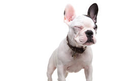Small french bulldog standing with eyes closed Royalty Free Stock Photo