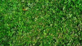 Small fresh green grass background texture. Pennisetum purpureum. royalty free stock photography