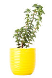 Small fresh green succulent in a little yellow pot Stock Photo