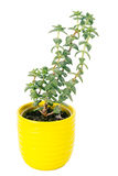 Small fresh green succulent in a little yellow pot Royalty Free Stock Photo