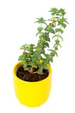 Small fresh green succulent in a little yellow pot Royalty Free Stock Image
