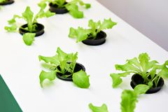 Small fresh lettuce plants in greenhouse Stock Photography