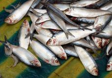 Small fresh water fishes at Indian market Royalty Free Stock Photo