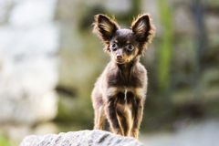 Small friendly chocolate puppy is staring sweetly Stock Image