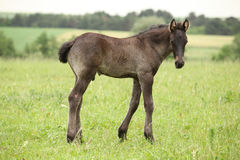 Small friesian foal looking at you Stock Image