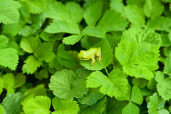 Small frog. Small green frog jumping from leaf to leaf Stock Images