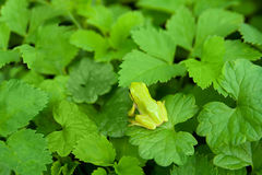 Small frog. Small green frog jumping from leaf to leaf Stock Photos