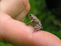 Small frog. On finger Royalty Free Stock Photography