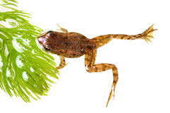Small frog among aquatic plants Royalty Free Stock Image