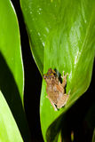 Small frog at big leaf in rainforest Royalty Free Stock Image