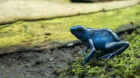 Small frog black and blue dentrobates on green moss. Dentrobates azureus sitting on green moss, small frog with beautiful blue body with black dots, dead wood Royalty Free Stock Image