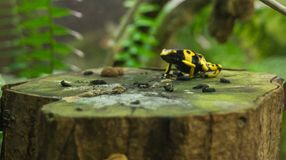Small frog black and yellow dentrobates on a tree trunk. Dentrobates leucomelas on a tree trunk, small frog with beautiful yellow pattern on black body, green Stock Photography