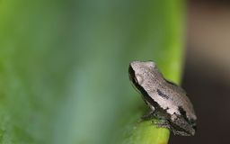 Small frog on broad leaf Royalty Free Stock Image