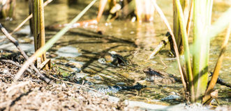 Small Frog. Small brown frog sitting in on top of a rock in a swamp with dirty water covered with seaweed Stock Image