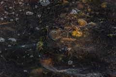 Small Frog. Small brown frog sitting in on top of a rock in a swamp with dirty water covered with seaweed Royalty Free Stock Photos