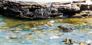 Small Frog. Small brown frog sitting in on top of a rock in a swamp with seaweed Stock Photo