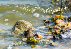 Small Frog. Small brown frog sitting in on top of a rock in a swamp with seaweed Royalty Free Stock Photos