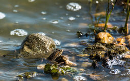 Small Frog. Small brown frog sitting in on top of a rock in a swamp with seaweed Stock Images