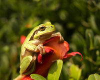Small Frog Royalty Free Stock Photography