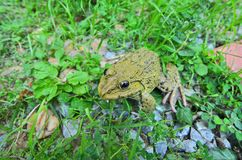 Small frog close up. Small frog in green grass and stone Stock Photo
